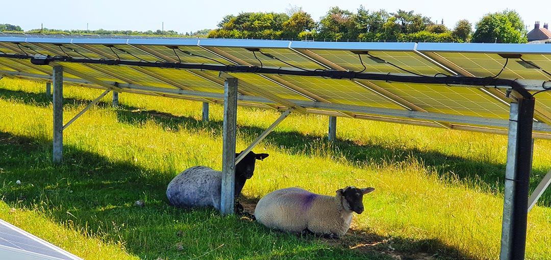 New Works Solar Farm - Sheeps below solar panels in shadow
